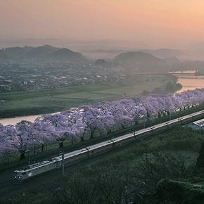 列車と楽しむ桜並木。白石川堤一目千本桜[鉄道風景]