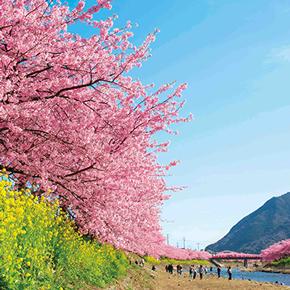 「河津桜まつり」「水戸の梅まつり」で、一足早い春を楽しんでみませんか?
