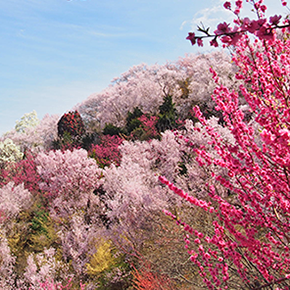 色とりどりの花が美しいその理由は…。春うららの花見山の楽しみ方